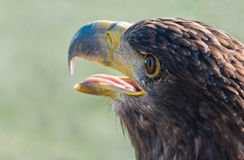 Portrait of a White-tailed Eagle with open beak Royalty Free Stock Photos