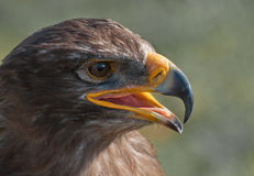 Portrait of a White-tailed Eagle with open beak stock photography