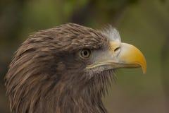 White-tailed Fish-Eagle Stock Photos
