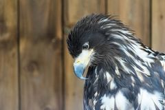 Portrait of a white tailed sea eagle. royalty free stock images