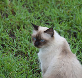 Portrait of white Thai cat in garden and nature background. Stock Photos