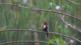 White throated kingfisher killing the fish stock video footage