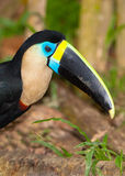 Portrait of a White-throated Toucan Stock Photos