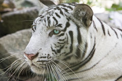 Portrait of  white tiger Stock Photos