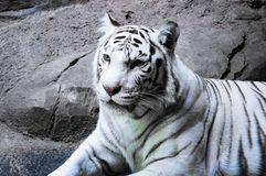 Portrait of a white tiger stock photo