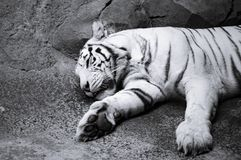 Portrait of a white tiger royalty free stock photos