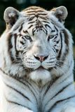 Portrait of a white tiger. Also known as bleached tiger. Panthera tigris tigris royalty free stock images