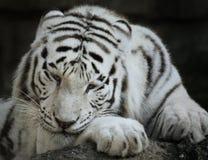 Portrait Of White Tiger Royalty Free Stock Photos