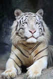 Portrait white tiger on a rock Royalty Free Stock Photo