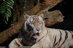 Portrait of a white tiger Royalty Free Stock Photo