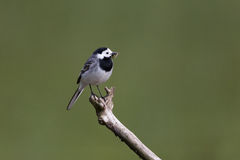 Portrait of white wagtail Motacilla alba alba with food Stock Photo