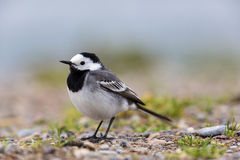 Portrait of white wagtail Motacilla alba alba Royalty Free Stock Image