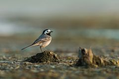 Portrait of white wagtail, Motacilla alba sitting on the ground in the spring morning. Cute black and white garden bird looking for food in its natural Royalty Free Stock Photos