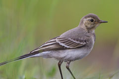 Portrait white wagtail young bird. Summer day,the birds sit on watering Royalty Free Stock Photography