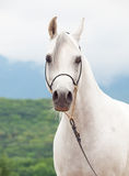 Portrait of white wonderful purebred arabian horse Stock Photography
