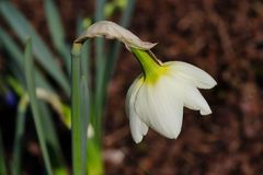 Portrait of white-yellow narcissus flower in the spring garden. Macro photography of nature royalty free stock images