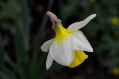 Portrait of white-yellow narcissus flower in the spring garden. Macro photography of nature stock photography