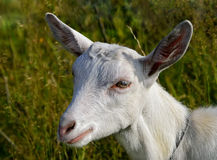 Portrait of a white young goat close-up. stock images