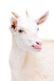 Portrait of a white young goat showing tongue. Isolated on white background stock photography