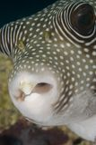Portrait of a Whitespotted pufferfish. Royalty Free Stock Images