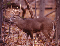 Portrait of a whitetail buck. Massive prime whitetail buck in full rut stock image