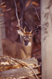 Portrait of a whitetail buck. This beautiful buck poses between the trees royalty free stock images