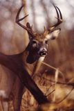 Portrait of a whitetail buck Stock Image