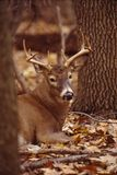 Portrait of a whitetail buck. This beautiful 8 point whitetail buck beds in a secure location royalty free stock image