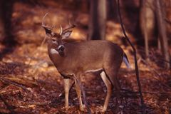 Portrait of a whitetail buck Stock Photos
