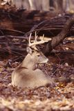 Portrait of a whitetail buck. This mature whitetail buck beds in the sun stock images