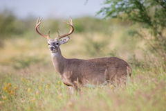 Portrait of a whitetail buck Stock Photography