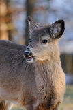 Portrait of Whitetail deer Stock Images