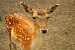 Portrait of whitetail deer fawn Stock Image