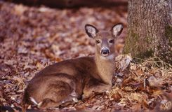 Portrait of a whitetail doe. This beautiful whitetail doe is alert and bedded royalty free stock images