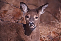 Portrait of a whitetail doe. Up close and in your face this doe is chewing some acorns royalty free stock photos