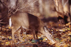 Portrait of a whitetail doe. This whitetail doe feeds on acorns stock image