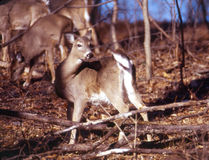 Portrait of a whitetail doe. This alert doe stands erect and her flag is ready to rise stock photos