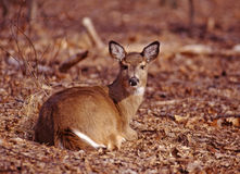 Portrait of a whitetail doe. This mature whitetail doe basks in the sun for warmth stock photos