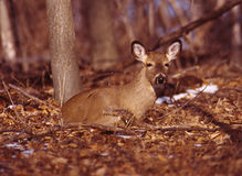 Portrait of a whitetail doe Stock Photo