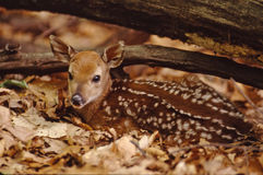 Portrait of a whitetail fawn. New born whitetail fawn alert and bedded stock photo