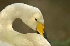Portrait of a Whooper Swan. Whooper Swan: Large, white swan with black and yellow bill; broad, yellow patch covers at least half of upper mandible. Sexes are Stock Photos