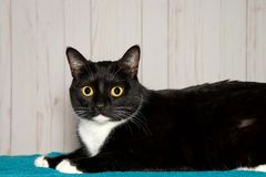 Portrait of a wide eyed tuxedo cat at home. One black and white tuxedo cat laying on a turquoise blanket looking at viewer. A bicolor cat or piebald cat is a cat Royalty Free Stock Images
