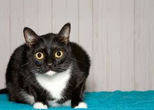 Portrait of a wide eyed tuxedo tabby cat looking at viewer. One black and white tuxedo cat crouched on turquoise blanket looking at viewer. A bicolor cat or Royalty Free Stock Photo