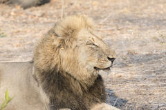 Portrait of a Wild Adult Male Lion in South Africa. Portrait and Closeup Head Shot of a Wild Adult Male Lion in South Africa Royalty Free Stock Image
