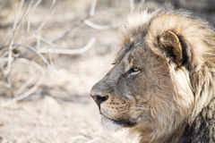 Portrait of a Wild Adult Male Lion in South Africa. Closeup Head Shot & Portrait of  Wild Adult Male Lion in South Africa Stock Images