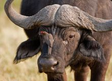 Portrait of a wild african buffalo Stock Images