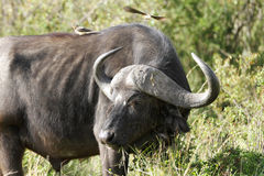 A portrait of Wild African Buffalo Stock Images