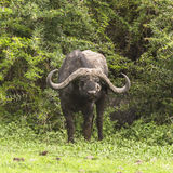 Portrait of a wild african buffalo. In Tanzania, Africa. The photo was taken in Ngorongoro Crater, Ngorongoro Conservation Area stock photography