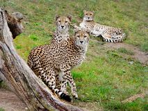 Cheetah. Wild african cats - cheetahs. Cheetah, gepard stock photo