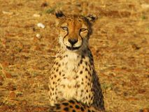 Portrait of a wild african cheetah Stock Images